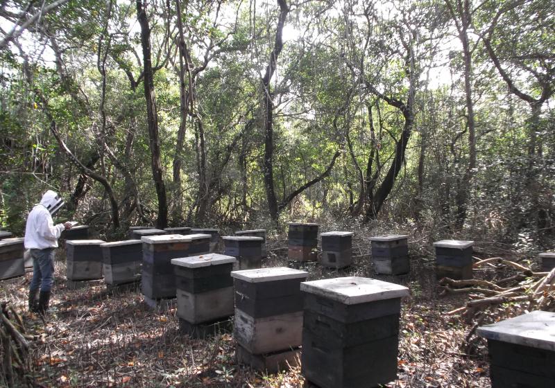 Apicultura en manglares