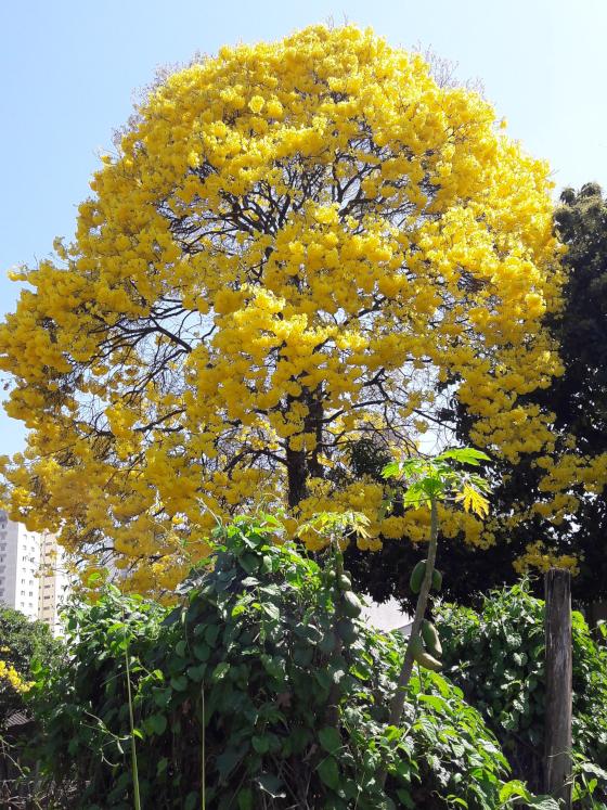 Handroanthus chrysanthus o primavera